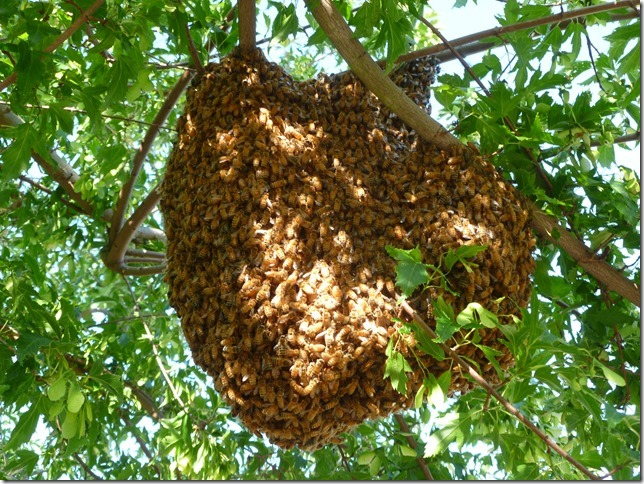 Bee-Swarm www.eastleach.org