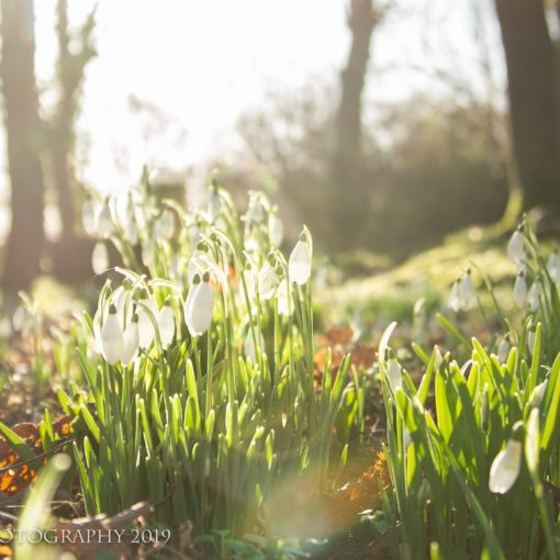 """Galanthus (snowdrop; Greek gála """"milk"""", ánthos """"flower"""") is a small genus of approximately 20 species of bulbous perennial herbaceous plants in the family Amaryllidaceae."""