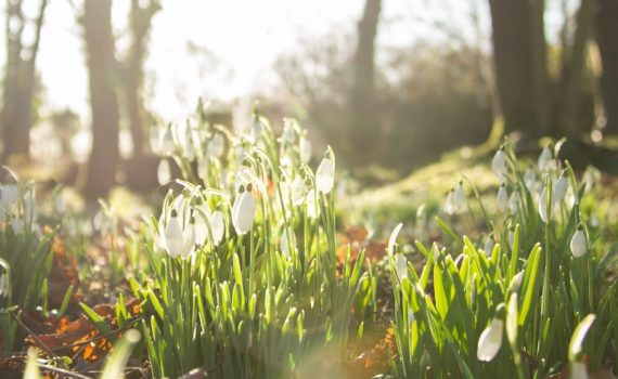 "Galanthus (snowdrop; Greek gála ""milk"", ánthos ""flower"") is a small genus of approximately 20 species of bulbous perennial herbaceous plants in the family Amaryllidaceae."